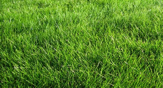 No Mow Meadow Mix